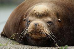 Sleepy California Sea Lion    #animals #nature #seal