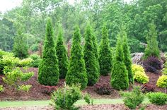 Create a refreshing look to your garden by using this attractive Proven Winners Spring Grove Thuja ColorChoice Arborvitae. Hard Landscaping Ideas, Landscaping Supplies, Landscaping Plants, Front Yard Landscaping, Landscaping Software, Outdoor Landscaping, Florida Landscaping, Backyard Patio, Arborvitae Landscaping