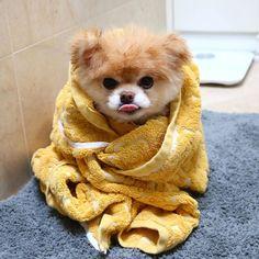 Meet Boo The Worlds Cutest Pomeranian Dog