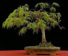bonsai Acer Palmatum Dissectum
