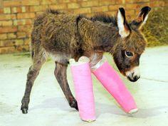 Une petite ânesse de 3 semaines, née prématurément a été plâtrée par des vétérinaires parce que ses os n'étaient pas encore assez développés pour pouvoir supporter le poids de son corps.