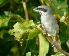 Yellow-shouldered grosbeak (Parkerthraustes humeralis) is a tanager of basal lineage.