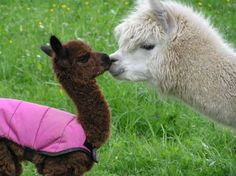 Alpacas - add this to the list of animals I want on my someday farm
