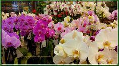 comment soigner vos orchidées et avoir des orchidées pendant de nombreuses années - le jardin de jean marie