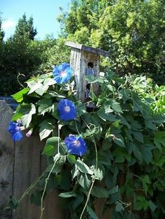 Morning Glories - found a new patch of these growing wild in my back yard. love!