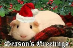 Guinea Pigs at Christmas.