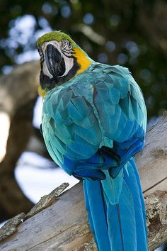 Birds of Eden, Blue and Gold Macaw Parrot, South Africa.