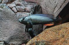 Haplochromis thereuterion. Lake Victoria