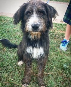 Meet Cody, an adoptable Irish Wolfhound looking for a forever home. If you're looking for a new pet to adopt or want information on how to get involved with adoptable pets, Petfinder.com is a great resource.