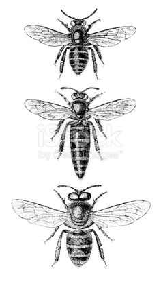 identifying the 3 castes of bees worker  drone  queen