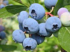 Októberben kezdenek bebékülni a kökény bogyói, így az őszi időszak egyik méltatlanul elfeledett és alig ismert növénye. Tövises cserjén nőtt gyógynövény. Apró, kék csonthéjas gyümölcsről van szó, a…