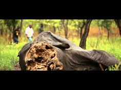 VIDEO: Cameroon Elephant Slaughter. Rampant poaching is threatening elephant populations in Central Africa #STOPthetrade
