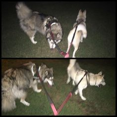First time taking these two out late at night. They were like different dogs! Possessed! Thunder suddenly wants to sprint like never before and not stop! Luna is chasing random things in the other direction that aren't there! (Unless it's Pokemon). Absolute hardest walk I've had with the strong mutts
