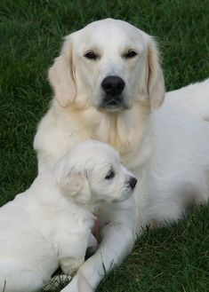 Cream colored golden retriever and pup