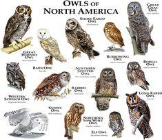 Owls of North America by rogerdhall.deviantart.com on @DeviantArt