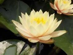 Hardy Water Lily Peach/Salmon Georgia Peach