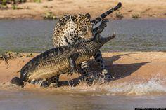 Un Jaguar saute à l'eau, attaque un caïman et le ramène de l'autre côté de la rive comme si c'était un os à toutou. WTF ! Cliquez pour voir la série photo intégrale.