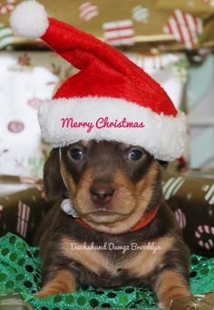 Basset Hound Dog, Dachshund Puppies, Dachshund Love, Dachshunds, Funny Dogs, Funny Animals, Famous Dogs, Great Dane Dogs, Cutest Dogs
