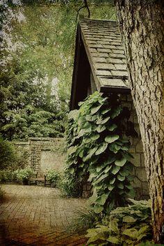 Dutchman's Pipe (Aristolochia macrophylla) at Stan Hywet Hall,  Akron, Ohio