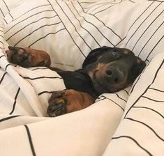 Sweet, sweet Doxie dreams... ♥