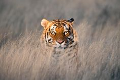 eye of the tiger - its an incredible feeling watching this magnificent animal stare at you with his golden eyes.