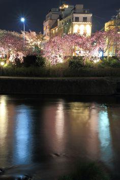 Kyoto Kamo-gawa River cherryblossoms lightup