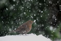 Merel in sneeuwbui.