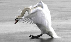Swan trying to land on ice