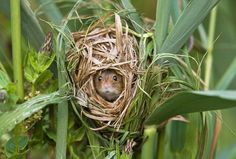La curiosa vida y las mejores fotos del ratón de campo :: Ciencia :: Mundo Animal :: Periodista Digital