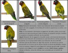 Budgie Parakeet, Cockatiel, Budgies, Parrots, Love Birds Pet, African Lovebirds, Bird Breeds, Bird Aviary, Colorful Birds