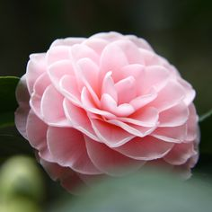 Camellia.jpg (2212×2212)
