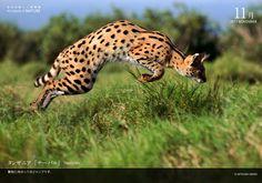 tanzania serval