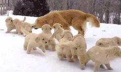 20 Reasons Why EVERYONE Should Rescue a Golden Retriever Right Now! | Pluble.com