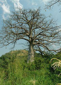 baobab with fruit, xofa, Ghana | Flickr - Photo Sharing!