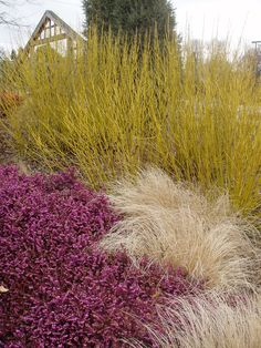 contrast - color and texture= Yellow twig dogwood, red barberry, grass