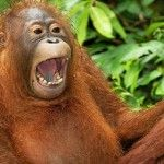 Pic by thomas marent / ardea / caters news - (pictured: a juvenile borneo o Jokes Images, Pictures Images, Animal Pictures, Emoji Quiz Games, Cute Animal Tattoos, Funny Animals, Cute Animals, Laughing Animals, Chair Pictures