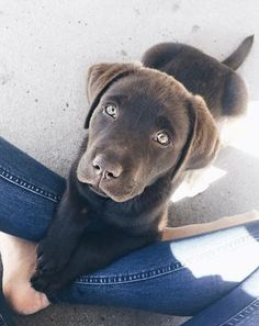 Sweet Chocolate Lab Puppy
