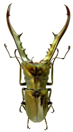 Stag Beetle - the metallic body almost makes it look like a manmade mini-robot or jewelry.