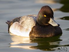 Greater Scaup #64 (out of order) First seen: Arcata Marsh and Wildlife Sanctuary, Arcata, CA USA