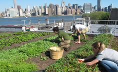The Rooftop Farm Project in NYC