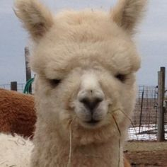Meet Sub-Atomic Explosion.He is from an award winning blood line too. He is an all white Huacaya alpaca.Keep this great blood line going and have him as your next breeder. http://www.nralpacafarm.com/product/sub-atomic-explosion/
