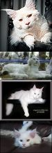 """Fake - The first image has been labeled an """"Albino Lynx"""". It is really a picture of a """"White Maine Coon Cat"""" named Barley photograph by Steve Collins Photography. The second image is of a Real White Lynx which is on display at the Rothschild Zoological Museum. The third image is """"Leo"""", a Maine Coon Cat, from Willabelle Cattery in Ohio(Info. from Selina Evener who has several males sired by Leo). The last image is a baby White Maine Coon Cat. The link is to Steve Collins."""