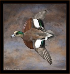 New Mounts Gallery 1 Taxidermy Display, Bird Taxidermy, Hunting Stuff, Duck Hunting, Duck Pictures, Art Pictures, Duck Identification, Duck Mount, Fish Mounts