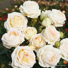 KORDES Rosen Madame Anisette ® The most beautiful roses of the world