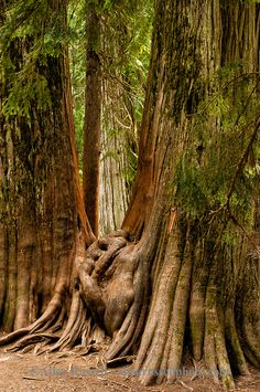 Pinned by http://FlanaganMotors.com. Ross Creek Cedars Scenic Area, Montana, Western Red Cedars, forests Love this place