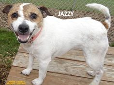 ADOPTED! Tag# 11073 Name is Jazzy Terrier Mix  Female-spayed Approx. 3-5 years old Just a doll! Likes to be on your lap, loves attention!   Located at 2396 W Genesee Street, Lapeer, Mi. For more information please call 810-667-0236. Adoption hrs M-F 9:30-12:00 & 12:30-4:15, Weds 9:30-12:00 & Sat 9:00-2:00.  https://www.facebook.com/267166810020812/photos/a.861850853885735.1073742170.267166810020812/861857347218419/?type=3&theater
