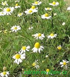 Heřmánek pravý | Zdraví na dlani Fruit Tea, Medicinal Herbs, Roots, Herbalism, Flora, Plants, Herbal Teas, Apothecary, Plant