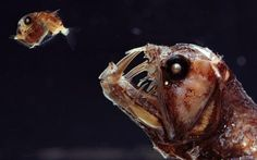 These strange deep-sea creatures look like they could be characters from a new science fiction film. The menacing fangs of the viperfish make it the Hannibal Lecter of the deep, while the larval anglerfish looks terrified as it swims away. Photographer Norbert Wu snapped the unusual fish as they were raised onto a boat, while on a research expedition. The creatures were netted around 1,000ft below sea level.