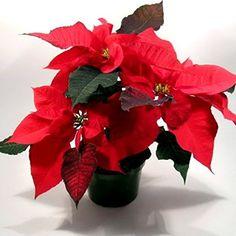 Stella di Natale - Piante da interno - coltivazione stella di natale