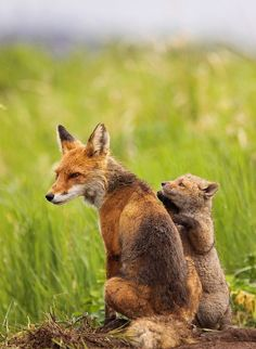 Fox With Her Cub
